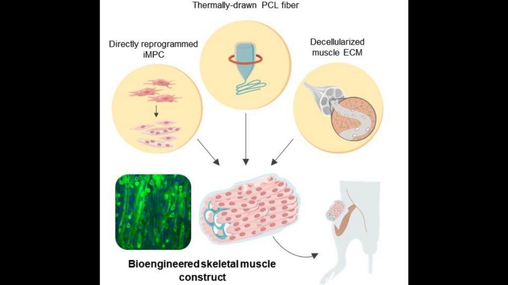 Bioengineered hybrid muscle fiber for regenerative medicine - Vigor Column